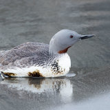 Red-throated Loon adult