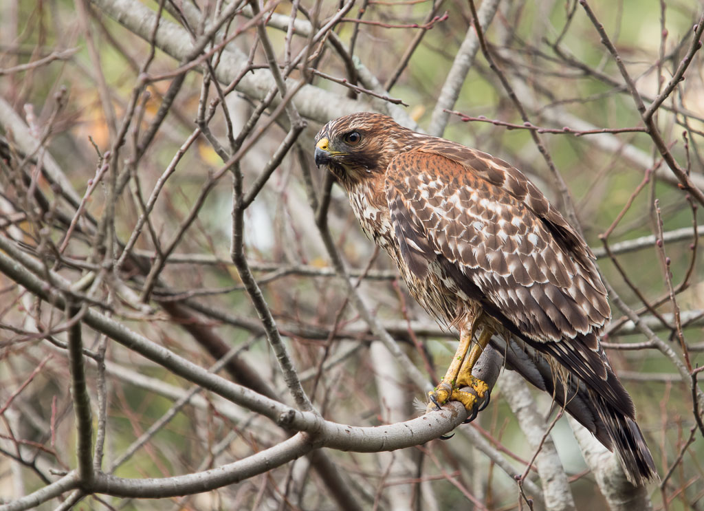 Red Shouldered Hawk in bush