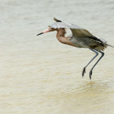 Reddish Egret canopy fishing