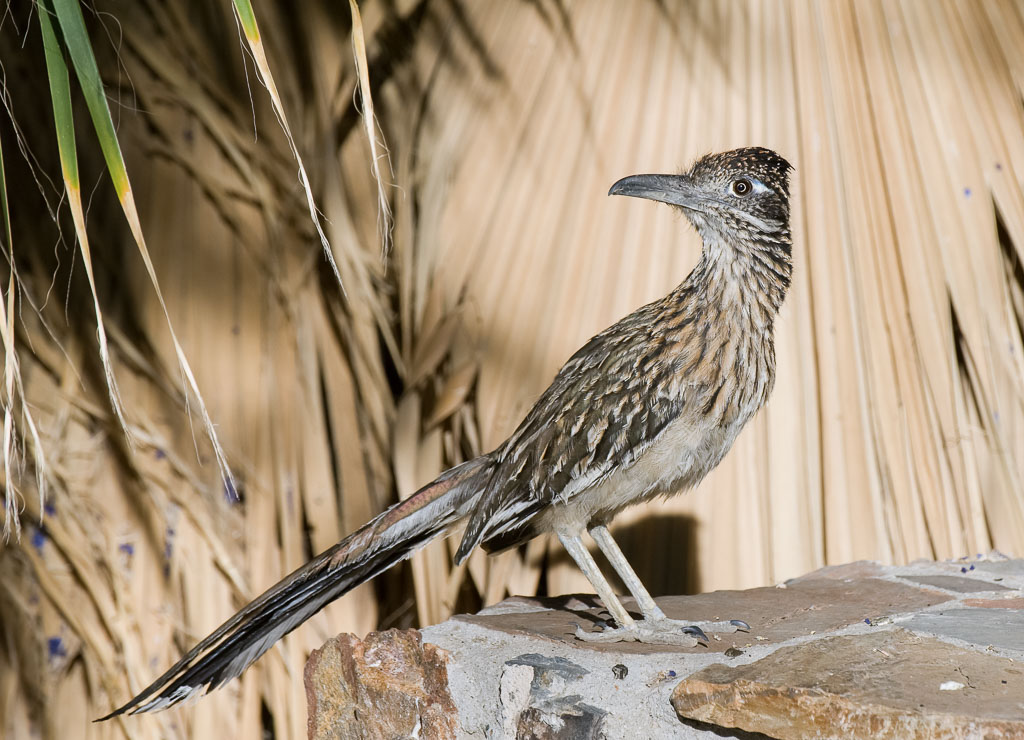 Roadrunner under Palm tree looking back