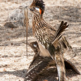 Roadrunners mating