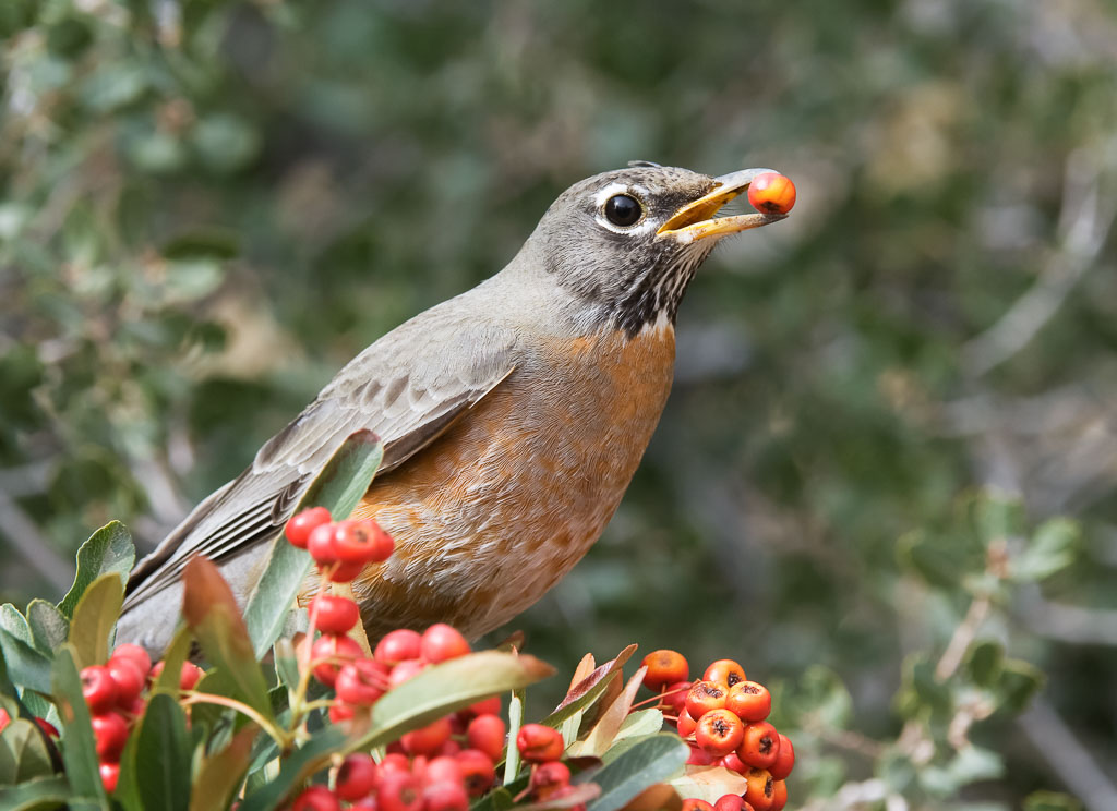 Robin with berry