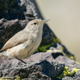 Rock Wren on rock