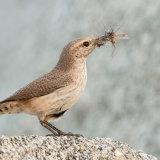 Rock Wren with food for chicks