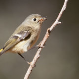 Ruby-crowned Kinglet calling