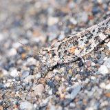 Sand Grasshopper Camouflage-2