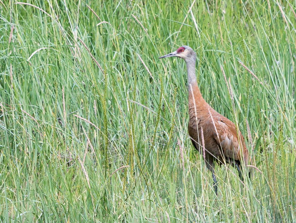 Sandhill Crane in grass-2