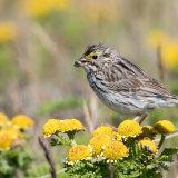 Savannah Sparrow on Dune Tansy