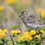 Savannah Sparrow on Dune Tansy