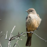 Say's Phoebe on twig 2