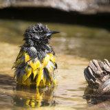 Scot's Oliole bathing