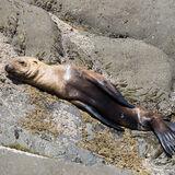 Sea Lion Pup on rocks awaiting mothers return