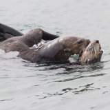 Sea Otter Mating 3