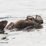 Sea Otter with pup 2