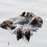 Sea Otters pair basdking