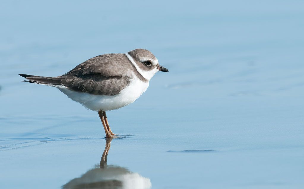 Semipalmated Plover (2)