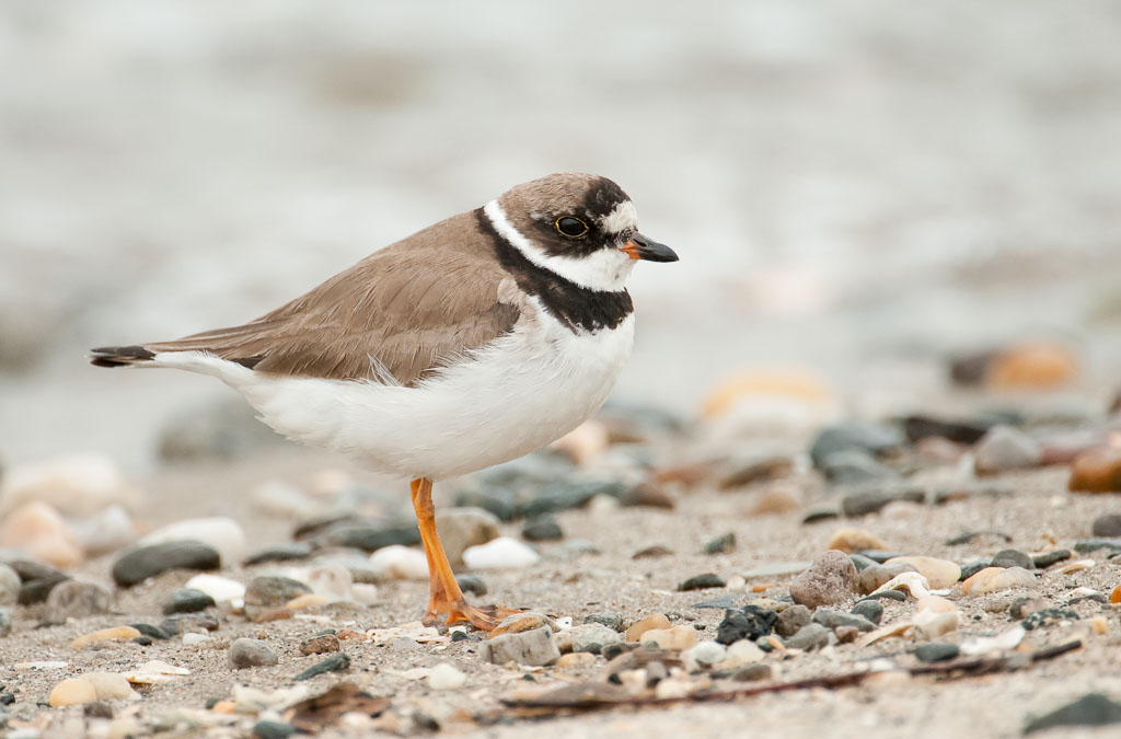 Semipalmated Plover adult