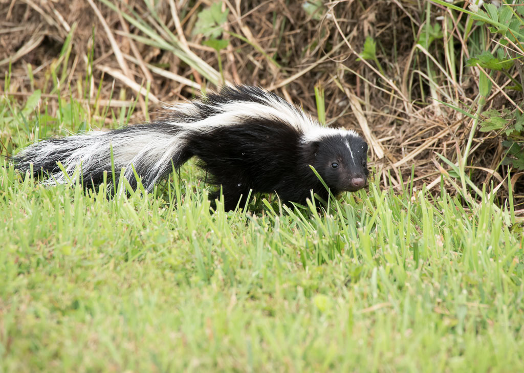 Skunk running grass
