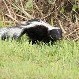 Skunk running grass