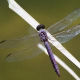 Slaty Dragonfly