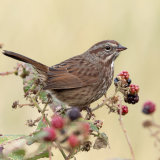 Song Sparrow eating blackberry