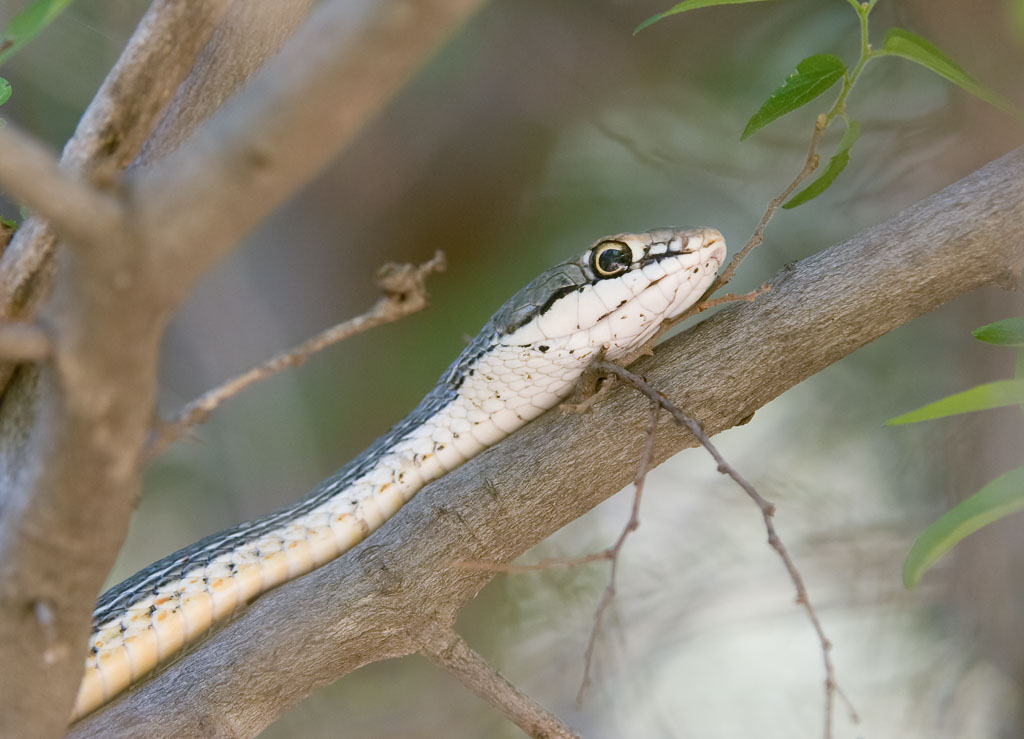 Sonoran Whip Snake in tree