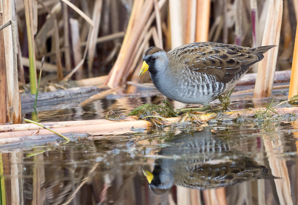 Sora in reeds