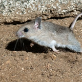 Southern Grasshopper Mouse jumping
