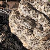 Speckled Rattlesnake HWY 74-2