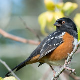 Spotted Towhee looking back