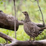 Spruce Grouse on forest floor-2