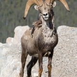 Stone's Sheep