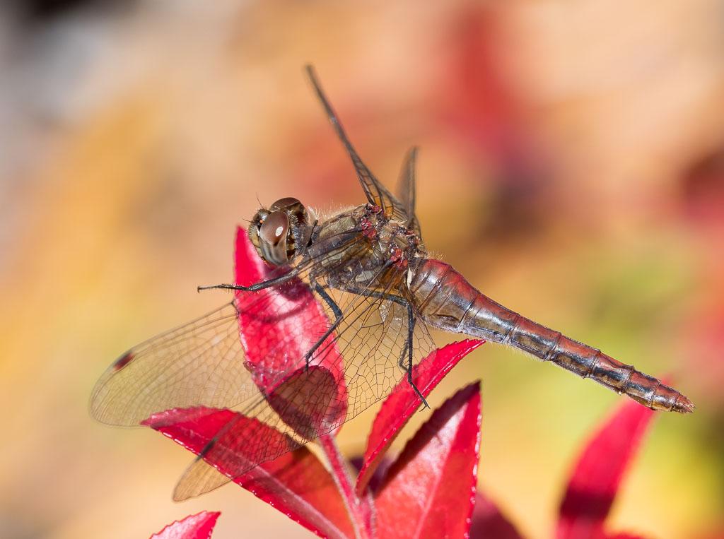 Striped-meadowhawk Dragonfly