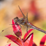 Striped-meadowhawk Dragonfly