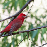 Summer Tanager-2