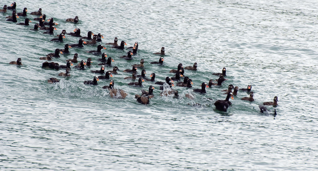 Surf Scoters raft of Surf Scoter diving