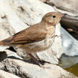 Swainson's Thrush by water