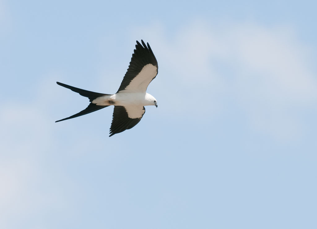 Swallow-tailed Kite in flight