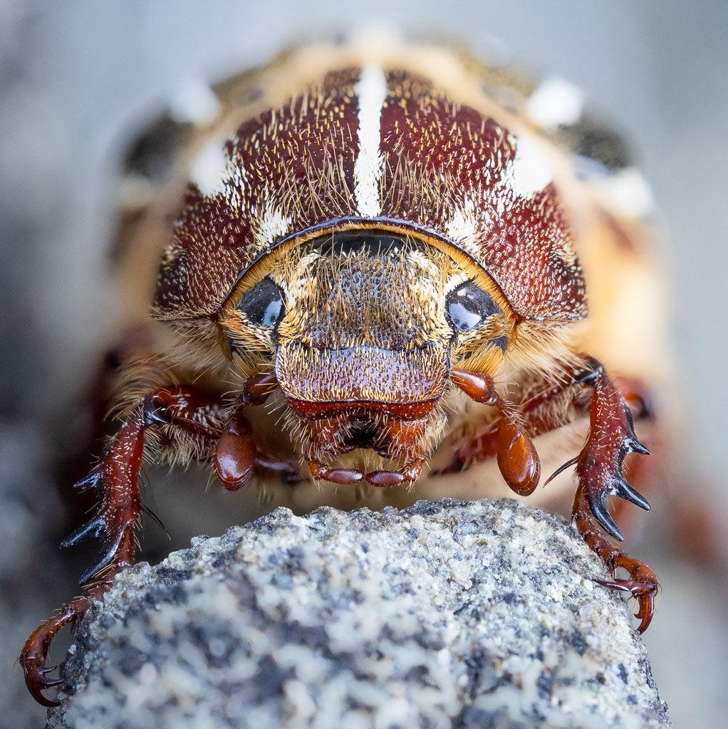 Ten-lined June Beetle head-on
