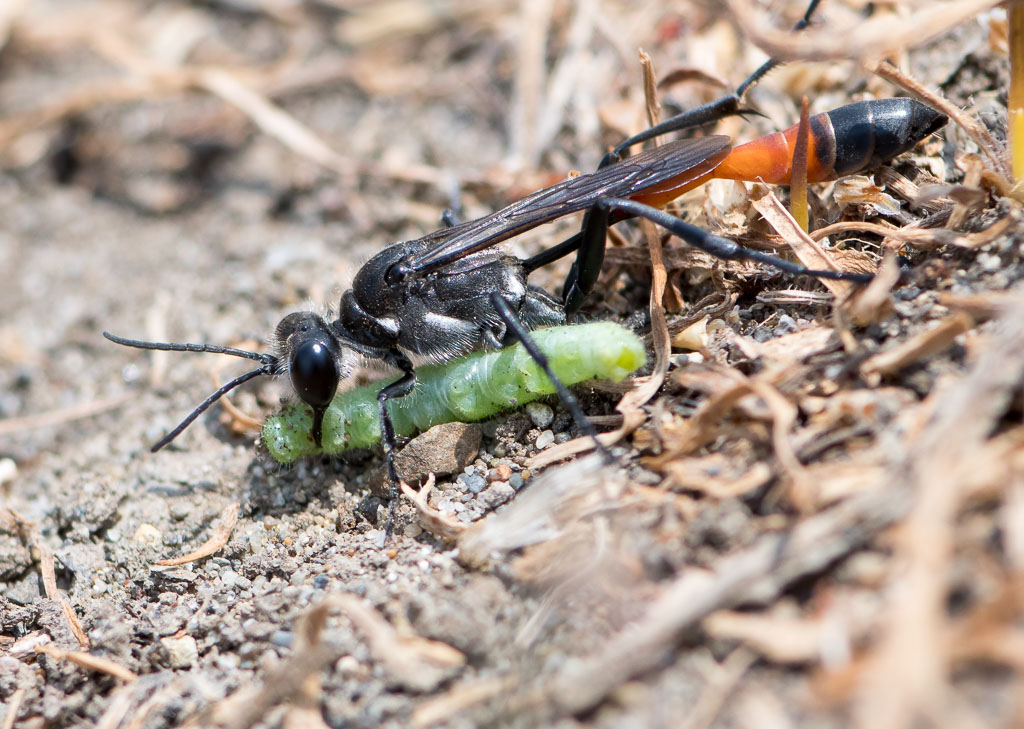 Thread-wasted Wasp with with caterpillar