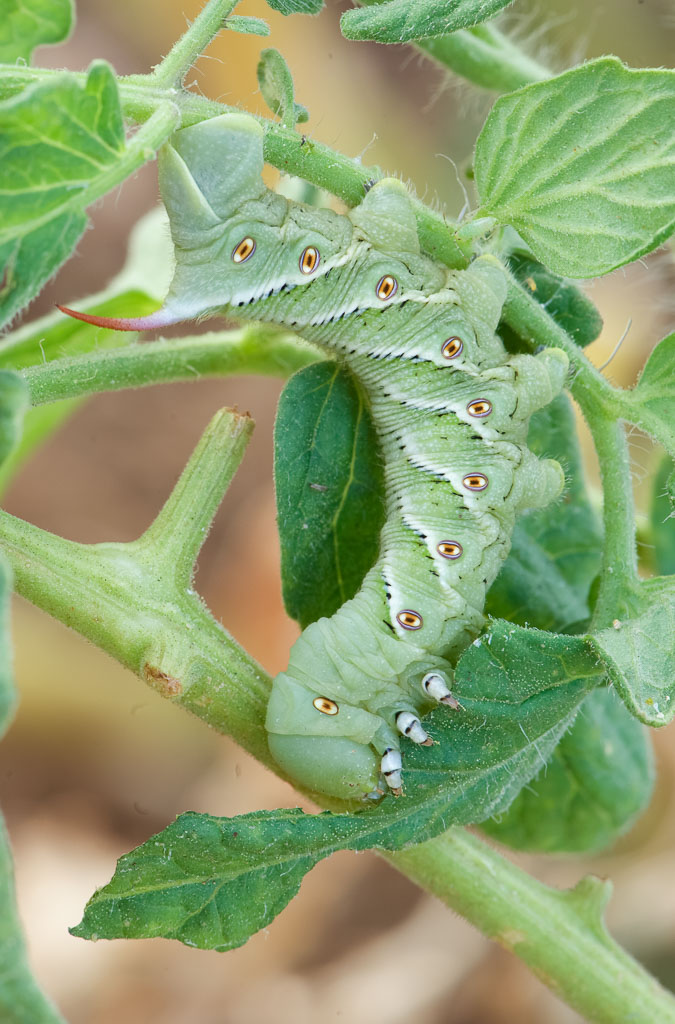 Tobacco Hornworm five-spotted hawkmoth