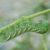 Tobacco Hornworm five-spotted hawkmoth 2