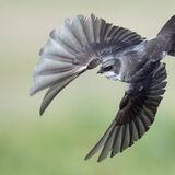 Tree Swallow in flight landscape