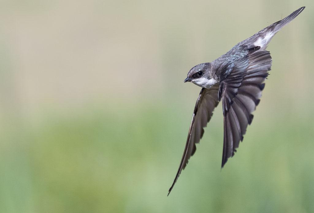 Tree Swallow in flight pose