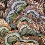 Turkey-tailed bracket fungus
