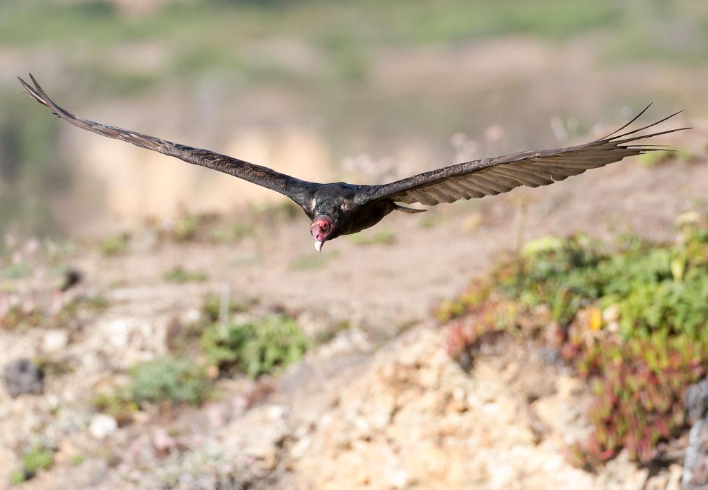 Turkey Vulture in flight head on-2
