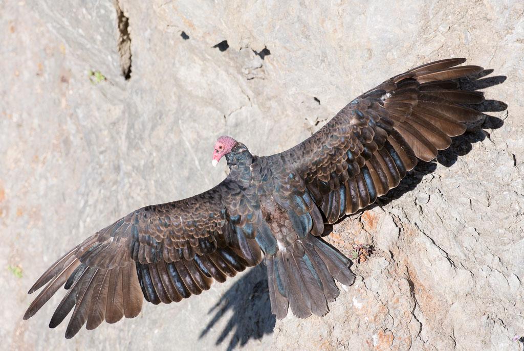 Turkey vulture sunning displaying full wings