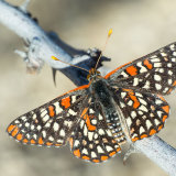 Variable Checkerspot on twig