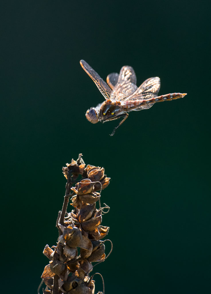Variegated Meadowhawk Skimmer in flight landing
