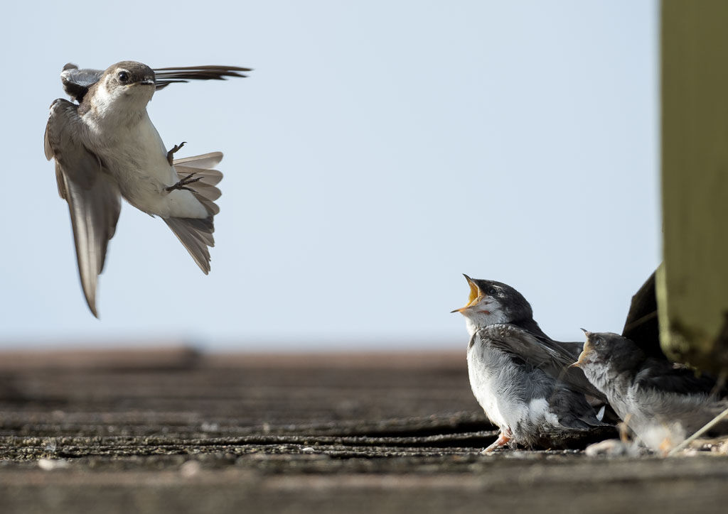 Violet-green Swallow checking chicks
